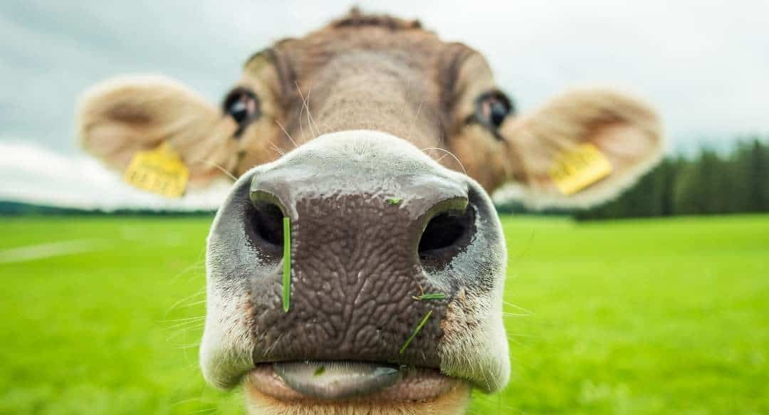 Grief and the Hormonal Cow
