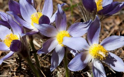 Pulsatilla – homeopathic remedy picture
